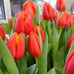 Tulipan_Esta Bonita