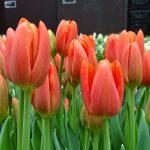 Tulipan_Orange Juice