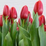 Tulipan_Surrender