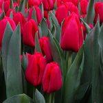 Tulipan_Ile de France