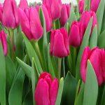 Tulipan_Pink Ardour