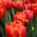 Tulipan Icoon