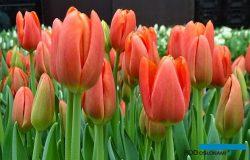 Tulipany – holenderska czołówka oraz wschodzące gwiazdy