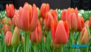 Tulipan 'Orange Juice' - jedna z odmian o rosnącym znaczeniu