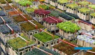 Holandia utrzymuje swoją mocną pozycję eksportera roślin ozdobnych