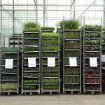 Gotowe do spedycji ukorzenione sadzonki bylin_Vitroflora