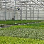 Produkcja materiałów wyjściowych do dalszej uprawy bylin w szklarni Vitroflory w Trzęsaczu