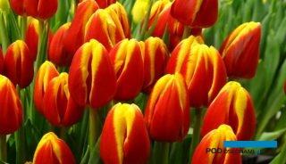 Wystawa Tulipanów w Wilanowie to przegląd kwiatów krajowej produkcji prowadzonej pod osłonami_Tulipan Denmark