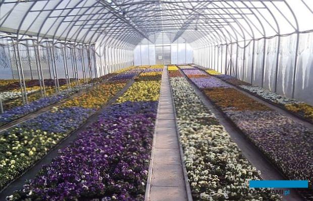 Typowy bieżący obrazek z gospodarstwa z sezonową produkcją roślin ozdobnych - niesprzedane bratki zapełniają obiekt, w którym powinno już być miejsce na kolejną produkcję