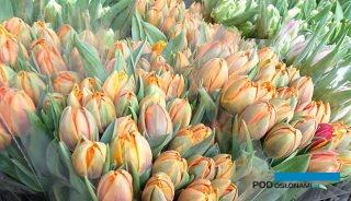 Kwiaciarstwo to - w okresie pandemii koronawirusa - jedna z najbardziej dotkniętych branż (a niesprzedane tulipany to jednen z charakterystycznych przejawów kryzysu), fot. A. Cecot