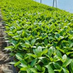 Produkcja rozsady papryki w wielodoniczkach