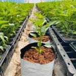Roślina papryki posadzona w pojemniku uprawowym (grow-pot) wypełnionym podłożem kokosowym
