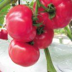Pomidor malinowy Framboo