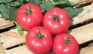 pomidor malinowy Kwintella