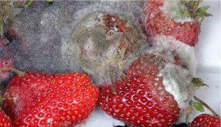 1. Klasyczne objawy szarej pleśni na owocach