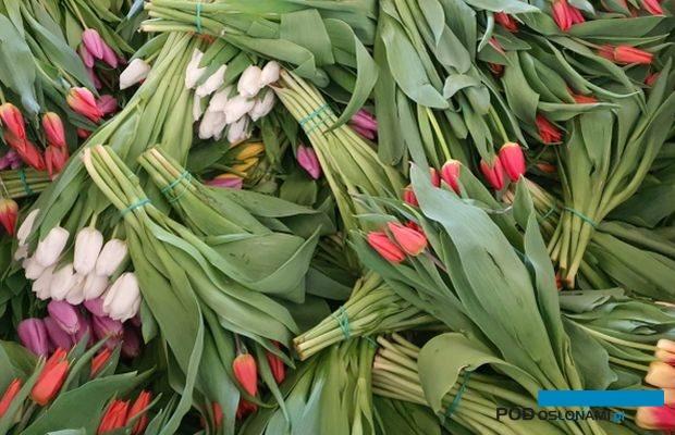 tulipany_koniec marca_2020_Krolik