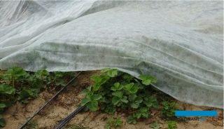 1. Linie kroplujące w uprawie pod agrowłókniną