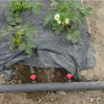 Nawadnianie na plantacji w tunelu foliowym