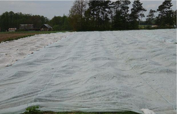 Przyspieszana uprawa truskawek pod agrowłókniną