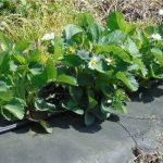 We wczesnej uprawie truskawek warto zastosować ściółkowanie czarną agrotkaniną