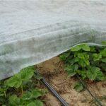 truskawki, agrowłóknina, materiał należy rozłożyć tak, by umożliwić swobodny wzrost roślin