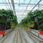 Do szklarniowej produkcji truskawek niezbędne są rynny uprawowe