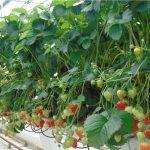 2. Dzięki taśmom podtrzymującym pędy kwiatostanowe owoce są lepiej wyeksponowane na roślinie i łatwiej jest je zbierać