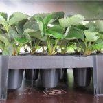 Do produkcji szklarniowej rekomendowane są sadzonki doniczkowane