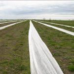 1. Plantacja maliny powtarzającej po okryciu agrowłókniną