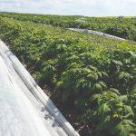 Plantacja malin - rośliny po zdjęciu osłony