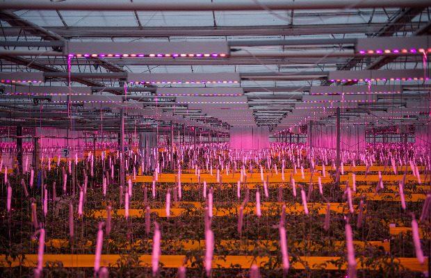 Nad roślinami zamontowano moduły Philips GreenPower LED toplighting