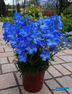 Delphinium grandiflorum 'Cheer Blue'