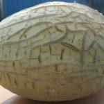 Emir F1 - melon kantalupa polskiej hodowli