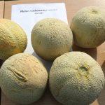 Melony siatkowane odmian pochodzących z Tajlandii (fot. P. Bucki)