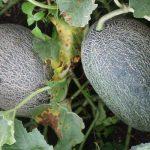 Owoce mieszańcowych odmian melonów testowanych w Polsce znajdujących się pod numerami fot P Bucki