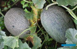 Uprawa melonów w tunelach foliowych