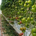 Pomidor malinowy testowany pod numerem DRTG4801