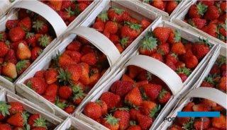 Zbiory truskawek rozpoczęły sezon na polskie owoce jagodowe