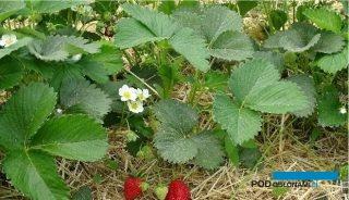 Na plantacjach, na których zadbano o nawożenie i ochronę rośliny są w dobrej kondycji