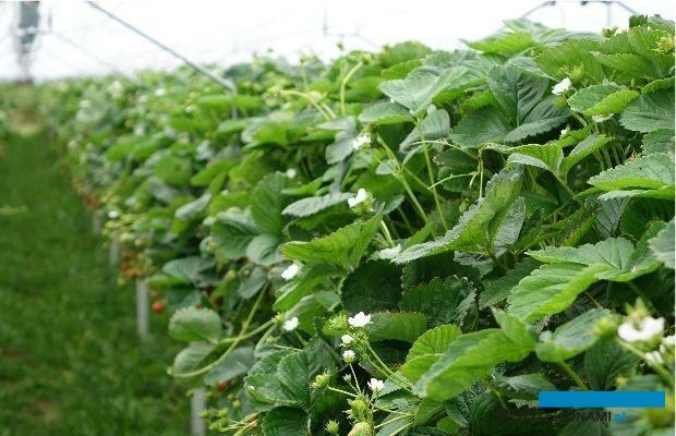 Podczas webinarium przekazano aktualne zalecenia dotyczące ochrony truskawek