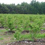 Krzewy borówki są w różnym wieku