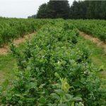 Rzędy roślin są ściółkowane korą roślin iglastych