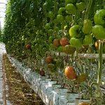 Pomidor czerwony DRTH5024
