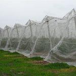 Część plantacji jest zabezpieczona wysokimi osłonami