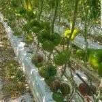 Pomidor czerwony Inspired (DRTH45013)
