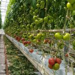 Pomidor malinowy DRTG4821