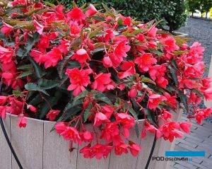 Begonia boliviensis Rivulet 'Nogat_Florensis