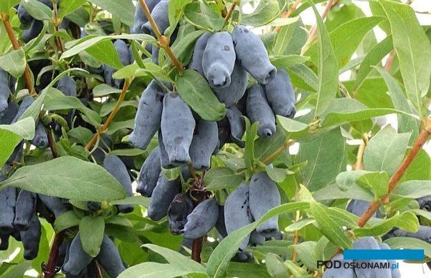 Atrakcyjne, liczne (i smaczne) owoce jagody kamczackiej - jednej z kanadyjskich odmian; 14 czerwca na plantacji w Muniakowicach, fot. A. Cecot