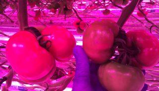 Pomidor malinowy Kawaguchi RZ