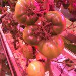 Pomidor malinowy Kawaguchi RZ w uprawie doświetlanej